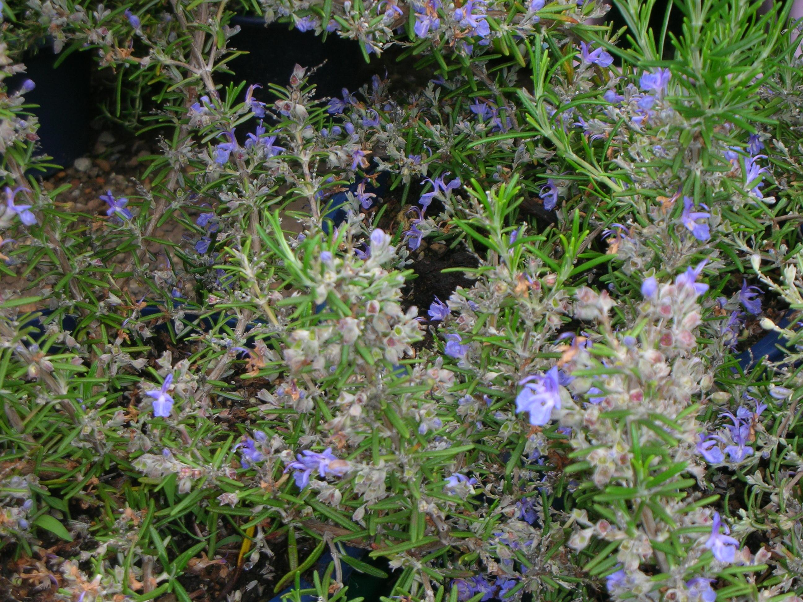 Copyr giardinaggio le erbe aromatiche for Piante aromatiche perenni
