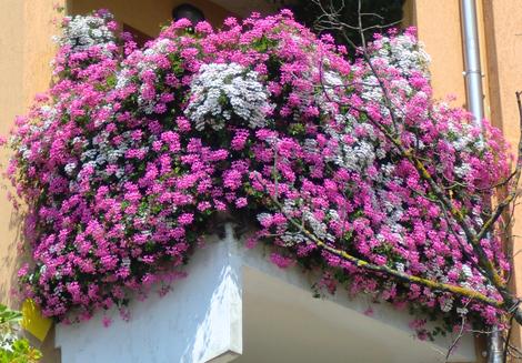 Copyr giardinaggio le piante ornamentali for Cespugli fioriti per giardino