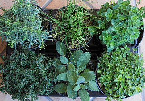 Copyr giardinaggio le erbe aromatiche for Elenco piante sempreverdi