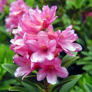 Rododendri copyr giardinaggio for Rododendro pianta