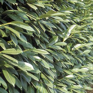 Lauroceraso come proteggere la pianta da parassiti e for Lauroceraso malattie