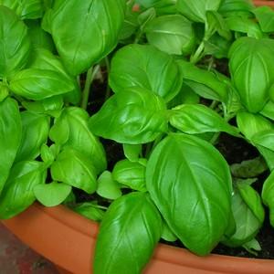Basilico Come Proteggere La Pianta Da Parassiti E Malattie Copyr