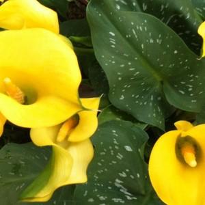 Calla come proteggere la pianta da parassiti e malattie for Calla pianta
