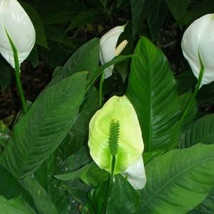 Spatifillo - come proteggere la pianta da parassiti e ...
