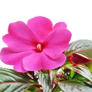 Fiori Di Vetro Nuova Guinea.Impatiens Come Proteggere La Pianta Da Parassiti E