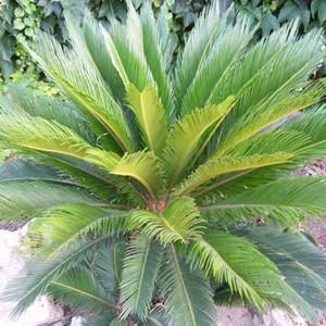 La Cycas è Originaria Del Giappone Dellu0027Asia Sudorientale. Famiglia Delle  Cycadaceae. La Specie Più Coltivata è La Cycas Revoluta, Una Splendida  Pianta ...