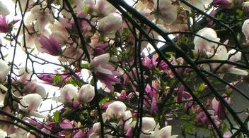 Magnolia informazioni pianta consigli cure per copyr for Piante secche ornamentali