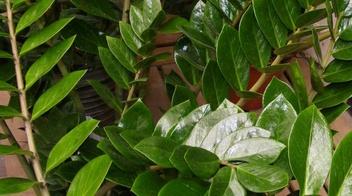 Zamioculcas informazioni pianta consigli cure per for Piante secche ornamentali