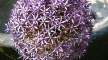 Aglio ornamentale informazioni pianta consigli cure for Aglio pianta