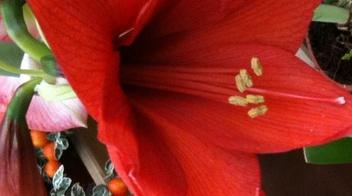 Hippeastrum - informazioni pianta, consigli, cure per Afidi - Copyr Giardinaggio