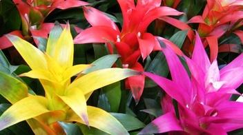 Guzmania informazioni pianta consigli cure per for Piante secche ornamentali