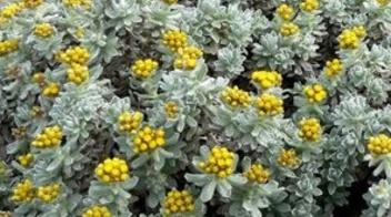 Helichrysum informazioni pianta consigli cure per for Piante secche ornamentali