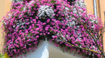 Copyr giardinaggio le piante ornamentali balconi for Piante invernali da esterno vaso