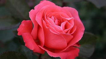 Copyr giardinaggio pratiche agronomiche perch for Ruggine delle rose